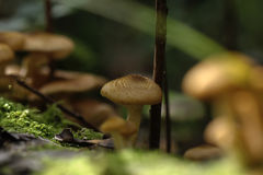 Honey agarics. Forest mushroom. Royalty Free Stock Photography
