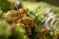 Honey agarics. Forest mushroom. Royalty Free Stock Images