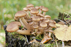 Honey agarics Stock Image