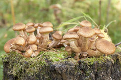 Honey agarics Stock Photos