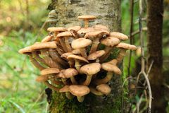 Honey agarics on a tree Royalty Free Stock Images