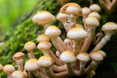 Honey agarics on the tree trunk. Royalty Free Stock Image