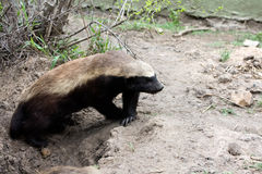Honey Badger stock images
