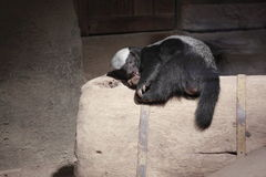 Honey badger. The honey badger (Mellivora capensis, Ratel) is a member of the Mustelidae family. The honey badger is distributed throughout most of Africa and stock photography