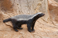 Free Honey Badger Stock Images - 24500194