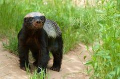 Honey Badger. Photo of a Honey Badger (Ratel Royalty Free Stock Photos
