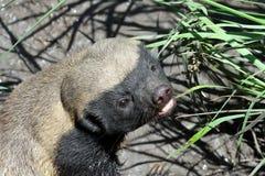 Honey Badger. A honey badger in a wildlife center in South Africa Stock Image