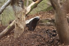 Honey Badger Stock Photos