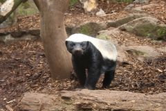 Honey Badger Stock Photography