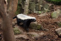Honey Badger Royalty Free Stock Images