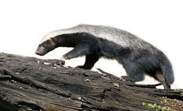 Honey Badger Arkivfoto
