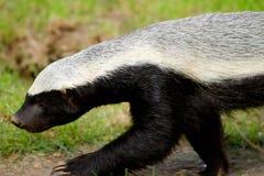 Honey Badger Stock Afbeelding