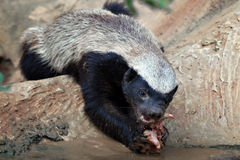 Honey badger feeding Royalty Free Stock Images