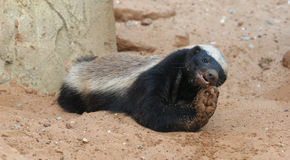 Honey badger  feeding Royalty Free Stock Photo