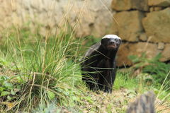 Honey badger Royalty Free Stock Photos