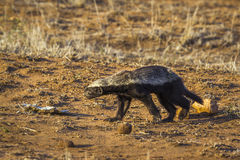 Honey badger in Kruger National park, South Africa Stock Photography