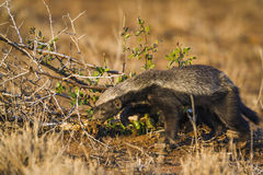 Honey badger in Kruger National park, South Africa. Specie Mellivora capensis family of Mustelidae royalty free stock images