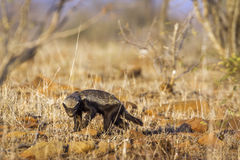 Honey badger in Kruger National park, South Africa. Specie Mellivora capensis family of Mustelidae royalty free stock image
