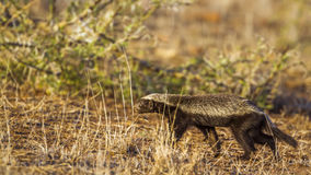 Honey badger in Kruger National park, South Africa. Specie Mellivora capensis family of Mustelidae stock photos