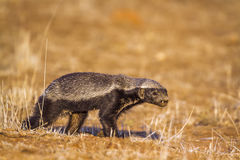 Honey badger in Kruger National park, South Africa Royalty Free Stock Photo