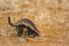Honey badger in Kruger National park, South Africa Royalty Free Stock Photos