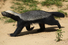 Honey badger (Mellivora capensis) Royalty Free Stock Images