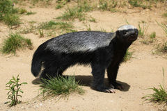 Honey badger (Mellivora capensis) Stock Photography