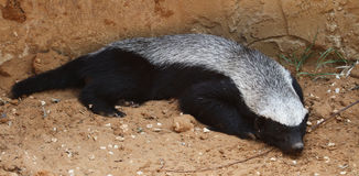 Honey badger resting Royalty Free Stock Photo