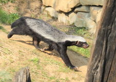 Honey badger. Running black and white honey badger Royalty Free Stock Photos