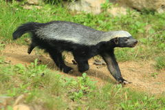 Honey badger Royalty Free Stock Image