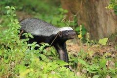 Honey badger. The honey badger strolling in the grass Stock Images