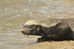 Honey Badger - Wildlife Background from Africa - Cute advesary Stock Photography