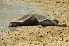 Honey Badger - Wildlife Background from Africa - Rare sights of Nature. A Honey Badger drinks water in the wilds of Africa.  This is a nocturnal mammal, and is Stock Image
