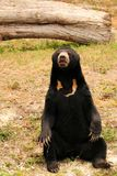 Honey bear Stock Images