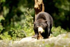 Honey Bear Imagenes de archivo