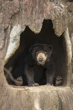 Honey bear on come closer Stock Image
