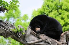 Honey bear sleeping Royalty Free Stock Images
