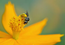 Honey Bee à flor e recolhe o néctar Fotografia de Stock Royalty Free