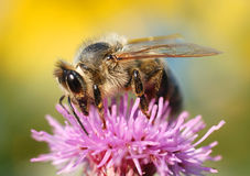 Honey-bee. On thistle flower Royalty Free Stock Photography