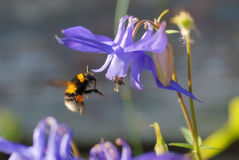 Honey Bee. A honey Bee searching for Honey Royalty Free Stock Photo
