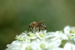 Honey bee. On the white flower and green background, small DOFF Royalty Free Stock Images