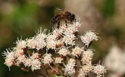 A honey bee. A honey bee on a white flower collecting pollen against a blurred background Stock Photo