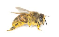 Free Honey Bee Stock Photography - 14610052