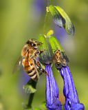 Honey Bee. A Honey Bee Nectaring On Purple Flowers, Apis�Mellifera Royalty Free Stock Image