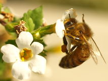Honey Bee. A honey bee collecting pollen from a white brachycome flower Stock Image