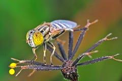 Honey bee Royalty Free Stock Photography