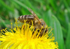 Honey-bee Royalty Free Stock Photo
