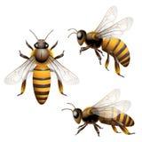 Honey Bee. Isolated on white Stock Photos