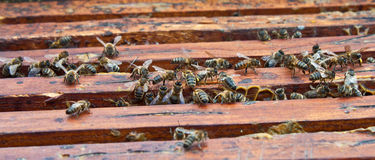 Honey bee Stock Photos