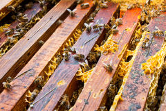 Honey bee. In its honeycomb Stock Photo